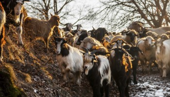 sheeps-and-goats